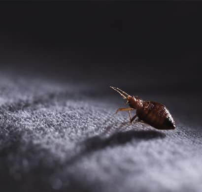 Carpet Flea Treatment