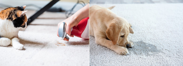 Pet-Pee Stains-Removal Service From Carpet